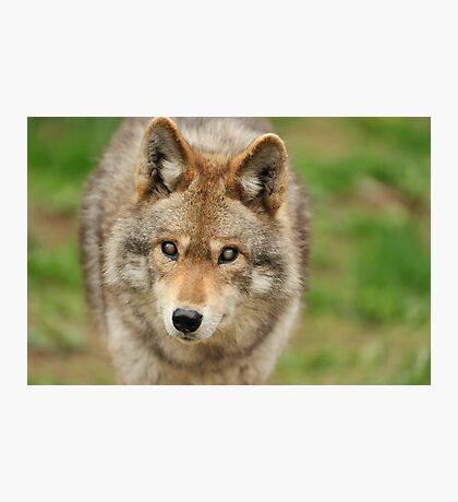 Smokey the Coyote Photographic Print