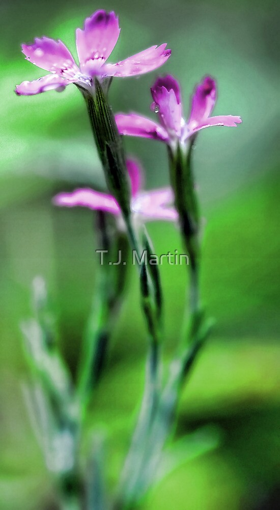 Pink Dianthus - Raindrop by T.J. Martin