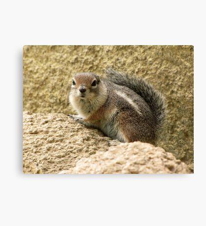 Harris' Antelope Squirrel Canvas Print