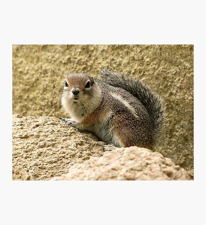 Harris' Antelope Squirrel Photographic Print