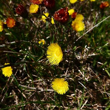 Coltsfoot (Tussilago farfara) by IOMWildFlowers