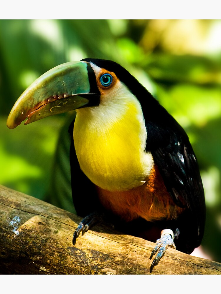 A nice toucan by rapis60