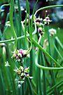Walking Onions  (Allium cepa var. proliferum) by MarjorieB