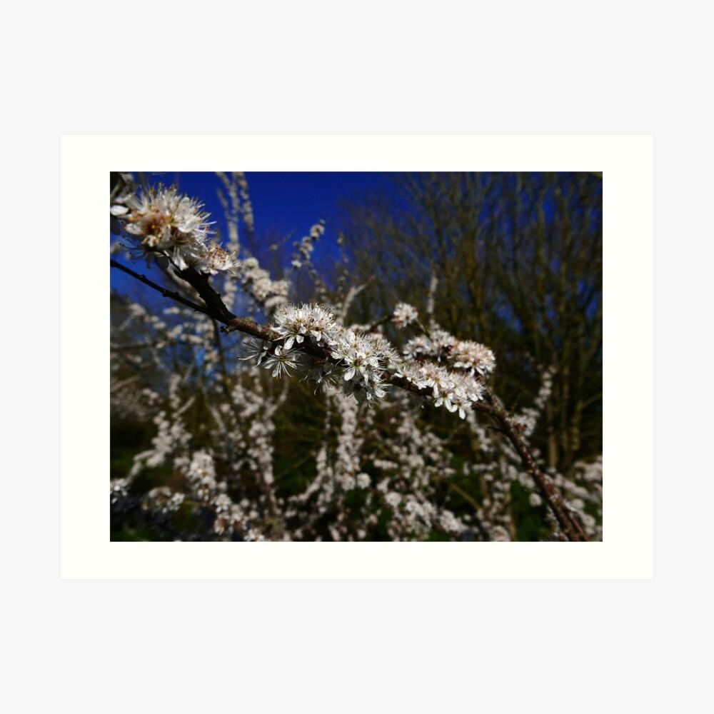 Blackthorn (Prunus spinosa) Art Print