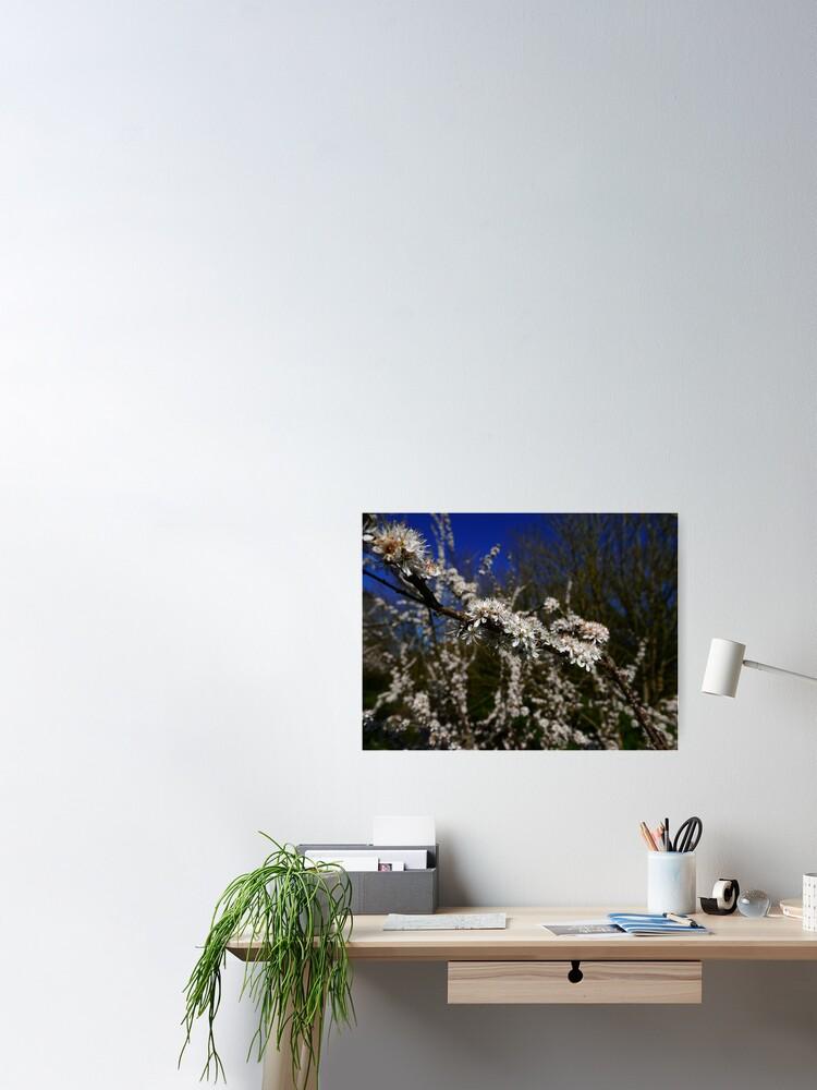 Alternate view of Blackthorn (Prunus spinosa) Poster