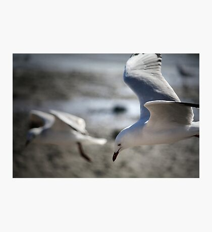 ~Gull Dreaming~ Photographic Print