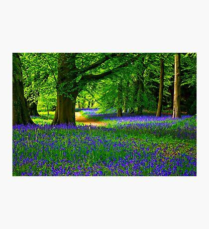 Bluebell Wood - Thorpe Perrow #3 Photographic Print