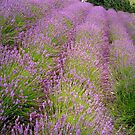 Rows of Lavender.. by eithnemythen