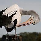 Preening pelican by Michael Matthews