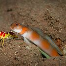 Shimp goby with shrimp by Stephen Colquitt