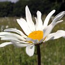 Ox Eye Daisy by Merice  Ewart