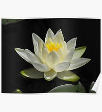 Water Lily From A Canoe Poster
