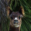 Alpaca, Ears Up by adbetron