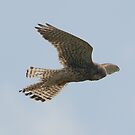 Bird Of Prey: Kestrel by Pirate77