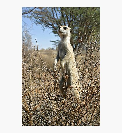 Meerkats in high places Photographic Print