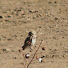 Burrowing Owl by Sherry Pundt