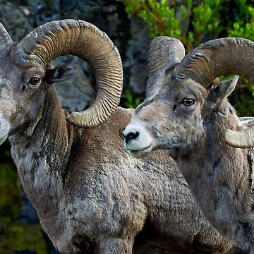 Big Horn Rams    #5827 by JLWoody15Wooden
