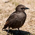 Young Starling by Daveart