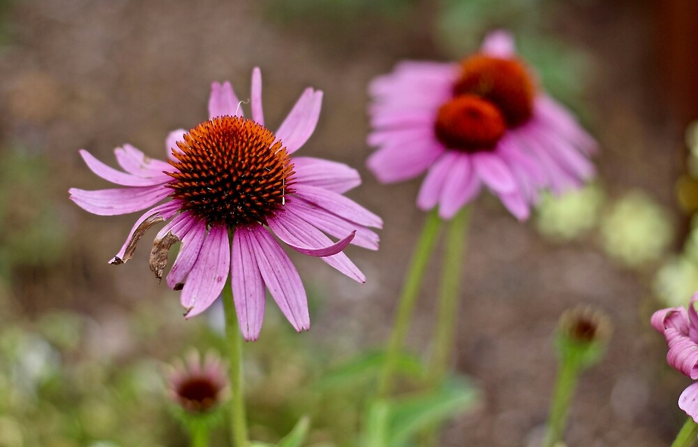 Purple Cone Flowers by quantumnatura