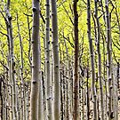 Aspen Forest  by quantumnatura