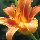 Day Lillies are Out! by teresa731