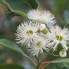 Weißes Eukalyptus von lezvee