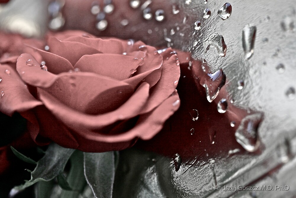 Silver rose. by Brown Sugar. Guns N Roses - Knocking On Heaven's Door . Views (907) . Favs (6). Thanks !!! FEATURED in Safe-haven group. by © Andrzej Goszcz,M.D. Ph.D