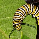 Monarch Caterpillar by Rebecca Bryson