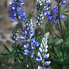 2010.JUN.06 Blue Lupine by Arla M. Ruggles