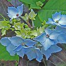 Hydrangea Blossoming by sarnia2