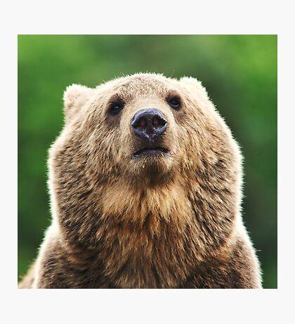 Grizzly portrait Photographic Print
