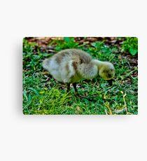 Baby goose Canvas Print