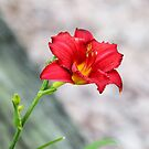 A Day Lily From Our Yard by Nanagahma