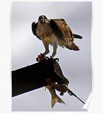 Osprey ~ Greenough River ~ Cape Burney Poster