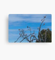 Galah Party Canvas Print