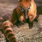 A study in coati by Anthony Brewer