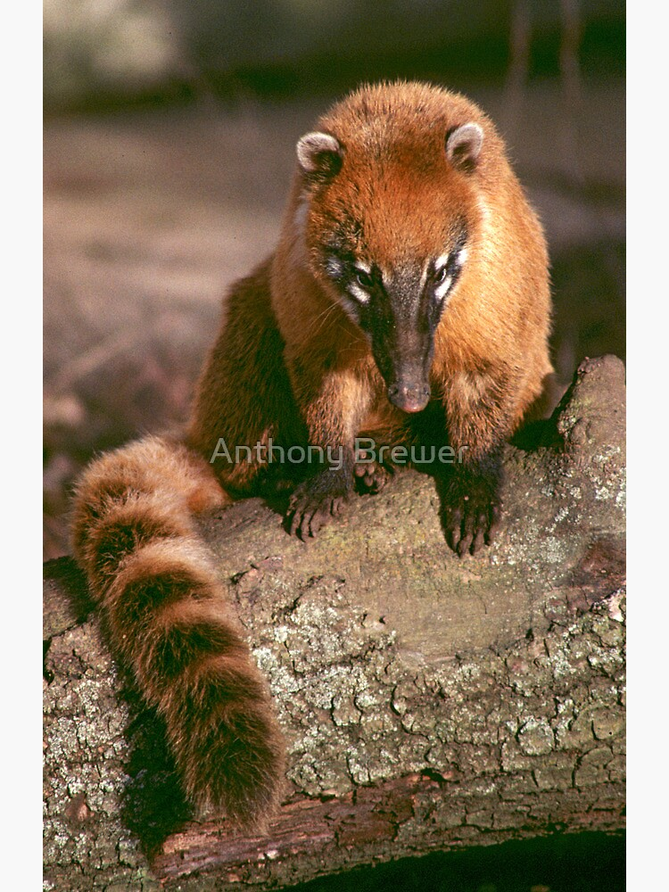 A study in coati by dailyanimals