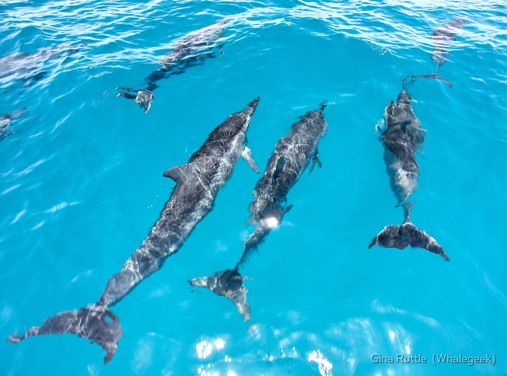 Spinner Dolphins Bow Riding by Gina Ruttle  (Whalegeek)