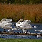 Swans @ Magra 1 by dougie1page2