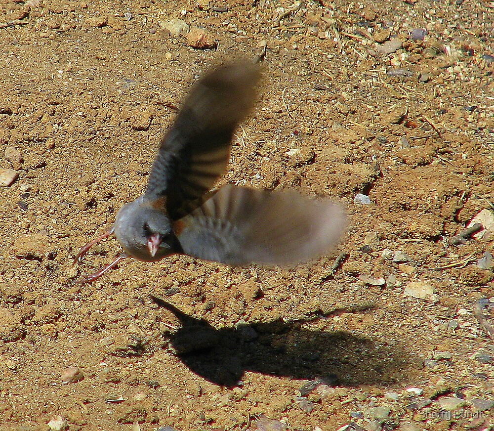 """""""Watch out I'm coming at ya"""" Dark eyed Junco by Sherry Pundt"""