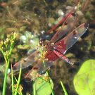 Red Dragon Fly by teresa731