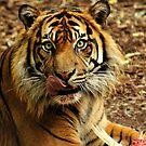Sumatran Tiger XII by Tom Newman