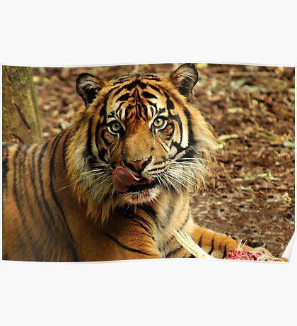 Sumatran Tiger XII Poster