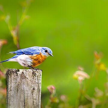 Spring Bluebird by rollosphotos