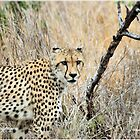 A MOMENT IN TIME - THE CHEETAH - Acinonyx jabatus by Magriet Meintjes
