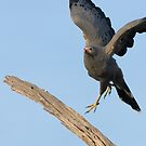 African Harrier Hawk by Yves Roumazeilles