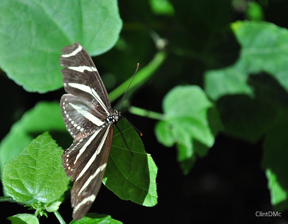 Zebra longwing butterfly by ClintDMc