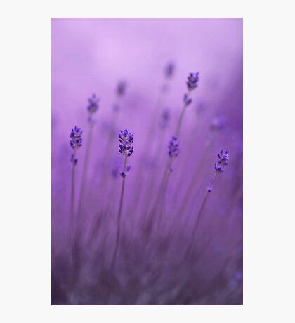 lavender colors Photographic Print