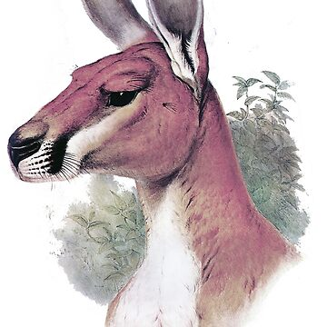 Red kangaroo portrait by marmur