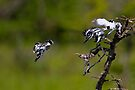 Diving Pied Kingfishers by Neil Bygrave (NATURELENS)